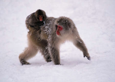 Japanese Macaques,Japanese Alps,Honshu Island,Japan LANG_EVOIMAGES