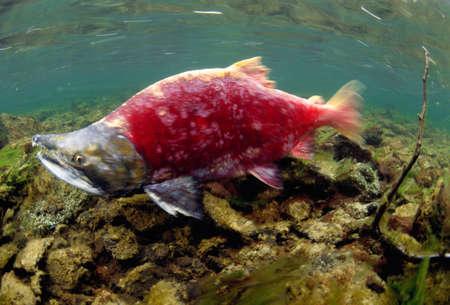 hurried: A sockeye salmon swims upstream to spawn,Wood-Tikchik State Park,Alaska,USA