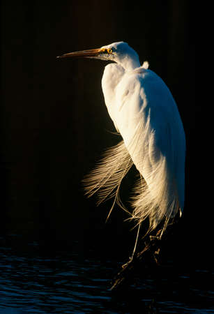 Great egret,Everglades National Park,Florida