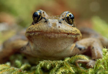 reflective: Red-legged frog,Hoh Rainforest,Olympic National Park,Washington