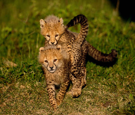 cheetah cub: Cheetah cubs,Masai Mara National Reserve,Kenya LANG_EVOIMAGES