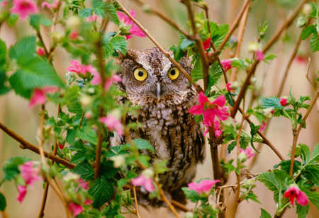 Western screech-owl perched in salmonberry bush,Washington LANG_EVOIMAGES