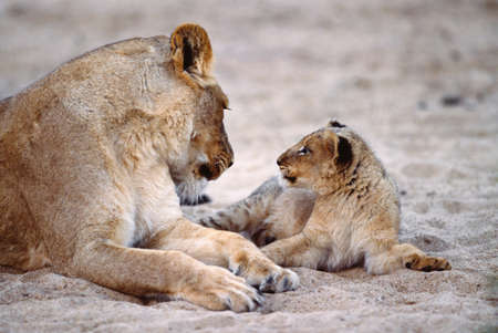 African lion mother and cub,Kruger National Park,South Africa