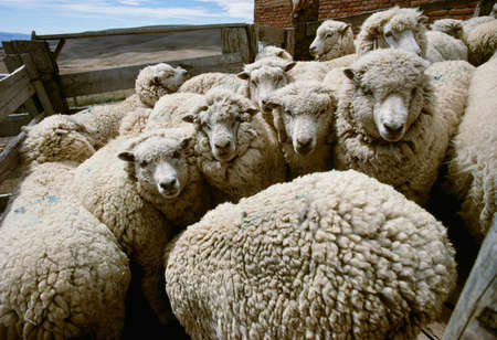 Sheep in holding pens for shearing,Patagonia,Argentina LANG_EVOIMAGES
