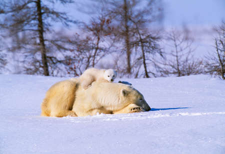 Polar bear and cubs,Churchill,Manitoba,Canada
