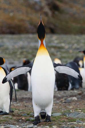 flightless: King Penguin,South Georgia Island,UK
