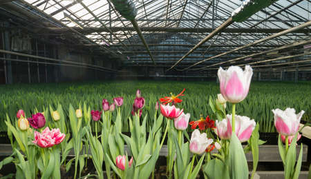 traditionally dutch: Pink and red tulips growing in greenhouse