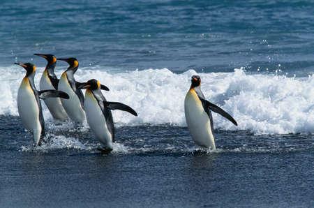 king penguins: King penguin,South Georgia Island