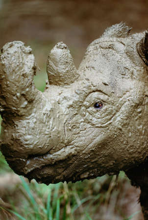 muddy: Sumatran rhinoceros,native to the rainforests of Indonesia