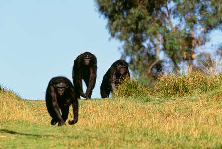 chimpances: Bonobos, o chimpancés pigmeos, nativos de África Central LANG_EVOIMAGES