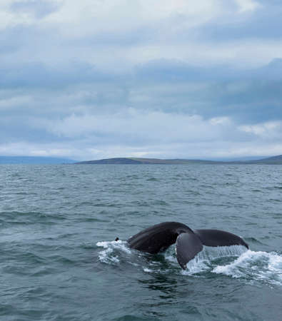 curiousness: Whales tail Iceland