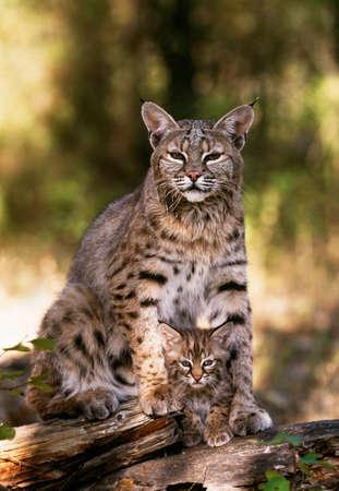Bobcat with kitten,Bob Marshall Wilderness,Montana