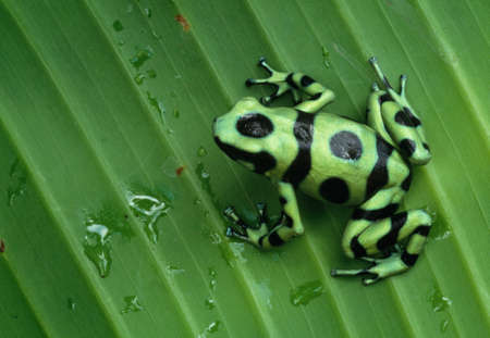 dendrobates: reen and Black Poison Arrow Frog sits on a leaf,Panama