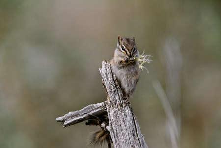 ardilla: Por lo menos, la ardilla se alimenta de semillas de hierba, Ravensthroat River, Northwest Territories, Canadá