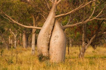 Boab or Australian baobab,Kimberley,Western Australia LANG_EVOIMAGES