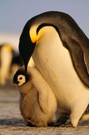 flightless: Emperor penguin and chick,Antarctica