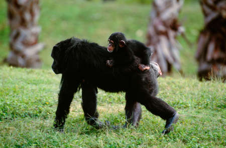 Common chimpanzee with infant on back,native to West Central Africa