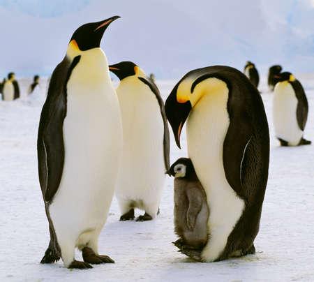 maternal: Emperor penguins and chick,Antarctica