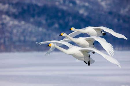 in unison: Three Whooper Swans fly in unison,Hokkaido Island,Japan