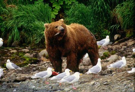 Brown bear,McNeil River Bear Sanctuary,Alaska