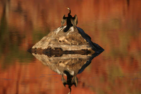 An Australian darter dries its wings in the sun after a dive,Mornington Sanctuary,Western Australia