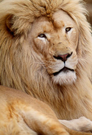 African lion,Tembuvate Preserve,South Africa LANG_EVOIMAGES
