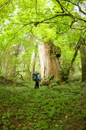 Woman admiring large cedar tree in forest,Chilliwack River Valley,North Cascades National Park,WA,USA