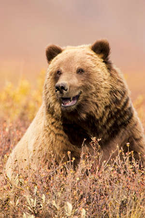 Brown bear or grizzly,Denali National Park,Alaska
