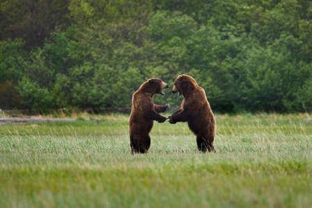 Brown bears fight,Katmai National Park,Alaska