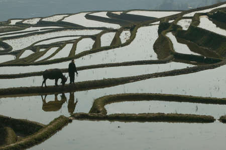 farmyards: A farmer walks with his water buffalo on the edge of a terraced rice paddy,Yunnan Province,China