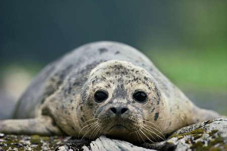 Harbor seal pup,Alaska LANG_EVOIMAGES
