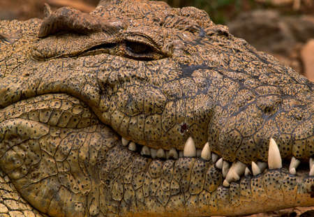Nile crocodile,Kenya