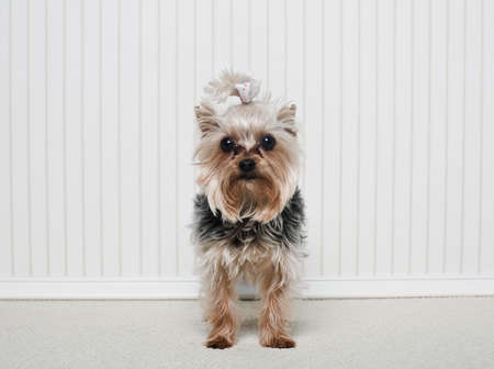 pooches: Portrait of a Yorkshire Terrier