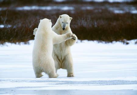 Polar bears,Manitoba,Canada