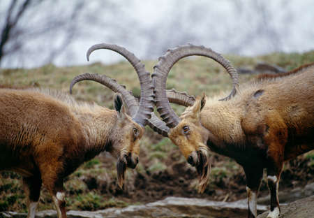 dominant: Nubian ibex challenge each other LANG_EVOIMAGES