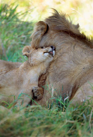 African Lion adult male and cub,Masai Mara National Reserve,Kenya LANG_EVOIMAGES