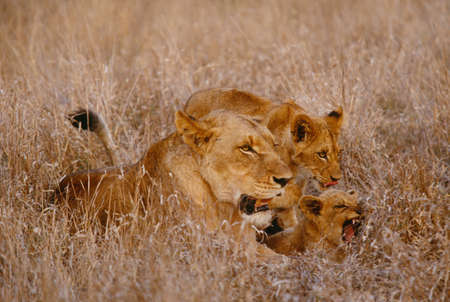 African lion and cubs,Kruger National Park,South Africa