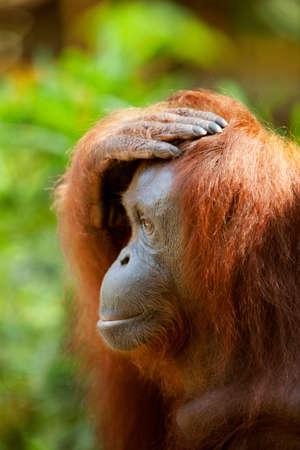 silliness: Orangutan at Semenggoh Wildlife Centre,Kuching,Sarawak,Malaysian Borneo