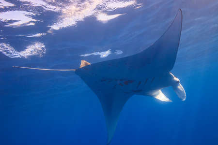 impressed: Manta Ray,Big Island,Hawaii,USA