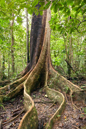 The thick roots of a Canarium tree growing above ground in the jungle on the island reserve Nosy Mangabe,Madagascar