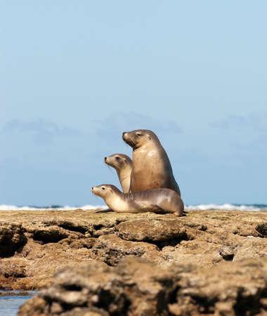 Sea Lions sitting on the rocks,Baird Bay,Eyre Peninsula,South Australia,Australia