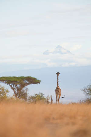 curiousness: A giraffe walks amongst the acacia trees and before Mount Kilimanjaro,in Amboseli National Park,Kenya LANG_EVOIMAGES