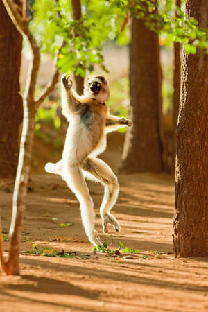 Verreauxs Dancing Sifaka,Berenty Reserve,Madagascar. These Lemurs have evolved to run across ground when tree canopies are too far apart