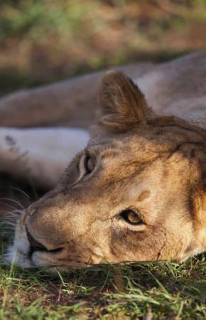 A lioness rests and protects a nearby kill from vultures in Cottars Conservancy,Kenya LANG_EVOIMAGES
