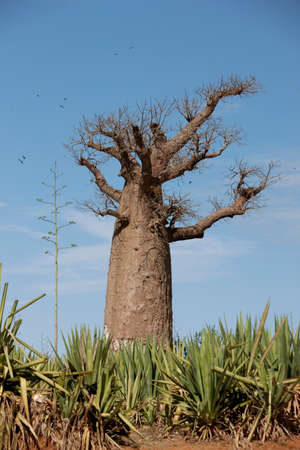 A Baobab tree at Amboasary Sud,near the Berenty Reserve,Madagascar LANG_EVOIMAGES