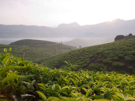 mornings: Dawn at the tea plantations in Munnar; a hill station in Kerala; India LANG_EVOIMAGES