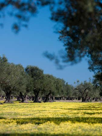 Olive trees,Tunis,Tunisia