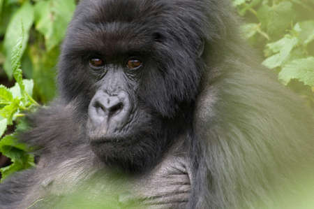 Silverback Gorilla in the Virunga Mountains,Parc National Des Volcans,Rwanda LANG_EVOIMAGES
