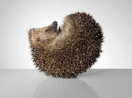 Hedgehog,curled up