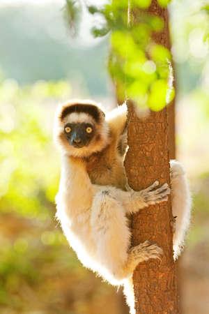 curiousness: Verreauxs Dancing Sifaka,Berenty Reserve,Madagascar